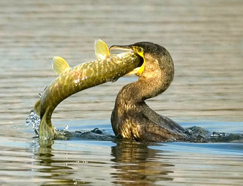 Cormorants are causing a significant devastation