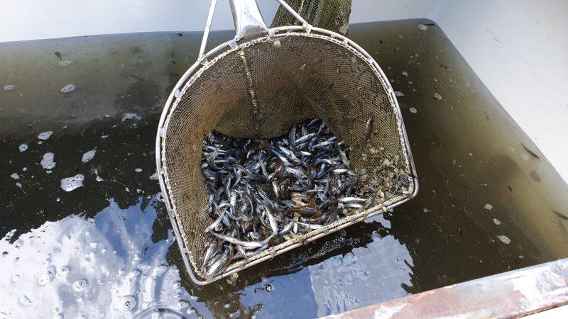 Usmas ezers šodien papildināts ar 50 000 vienvasaras zandartu mazuļiem no BIOR Pelču zivju audzētavas